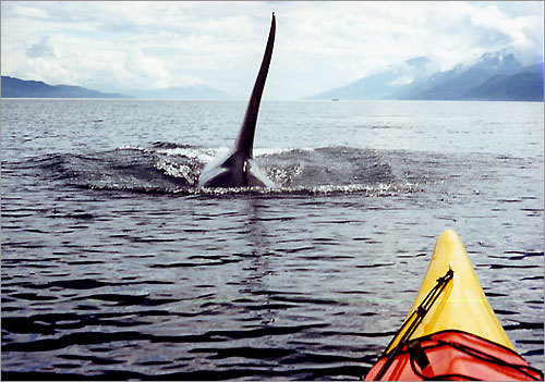 Five Day San Juan Island Kayak Expeditions: Kayaking With Orca Whales
